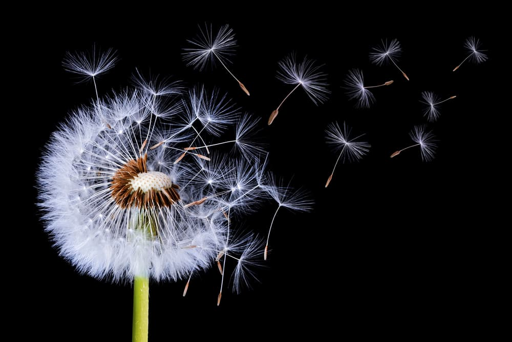 3 Reasons Why You Shouldn't Mow Dandelions